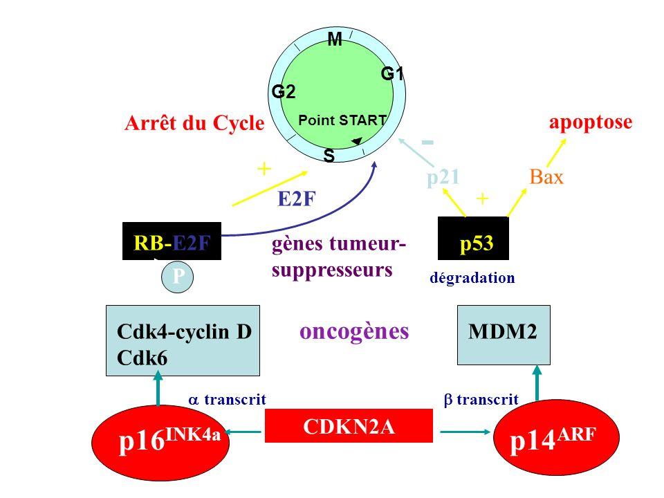 - - - - - p16INK4a p14ARF + oncogènes Arrêt du Cycle apoptose p21 Bax