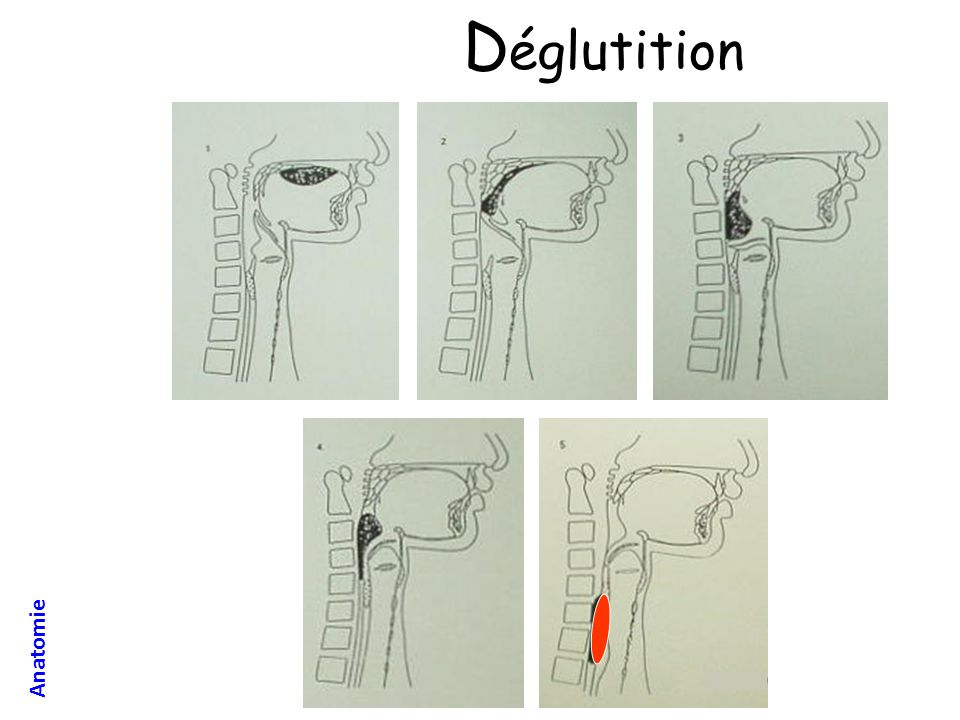 Déglutition Anatomie