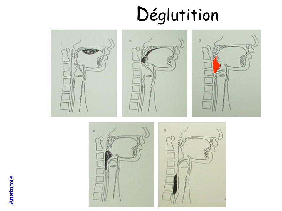 Déglutition Anatomie