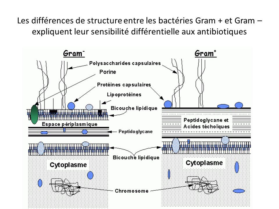 Les différences de structure entre les bactéries Gram + et Gram – expliquent leur sensibilité différentielle aux antibiotiques