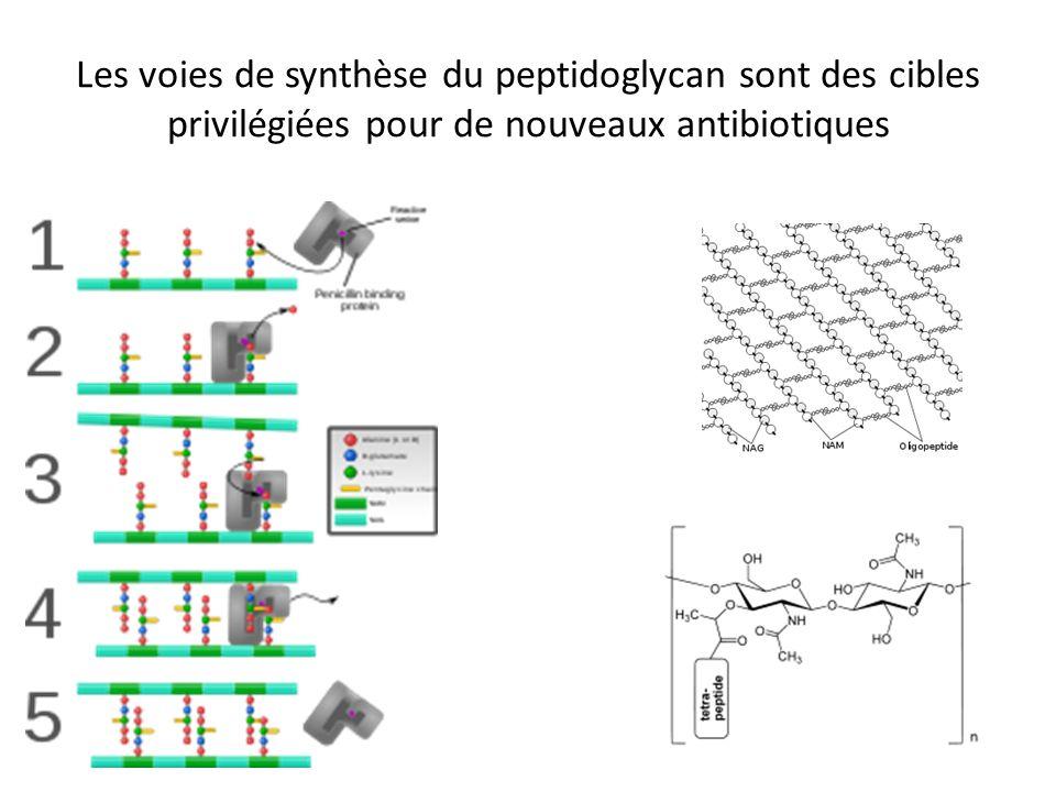 Les voies de synthèse du peptidoglycan sont des cibles privilégiées pour de nouveaux antibiotiques