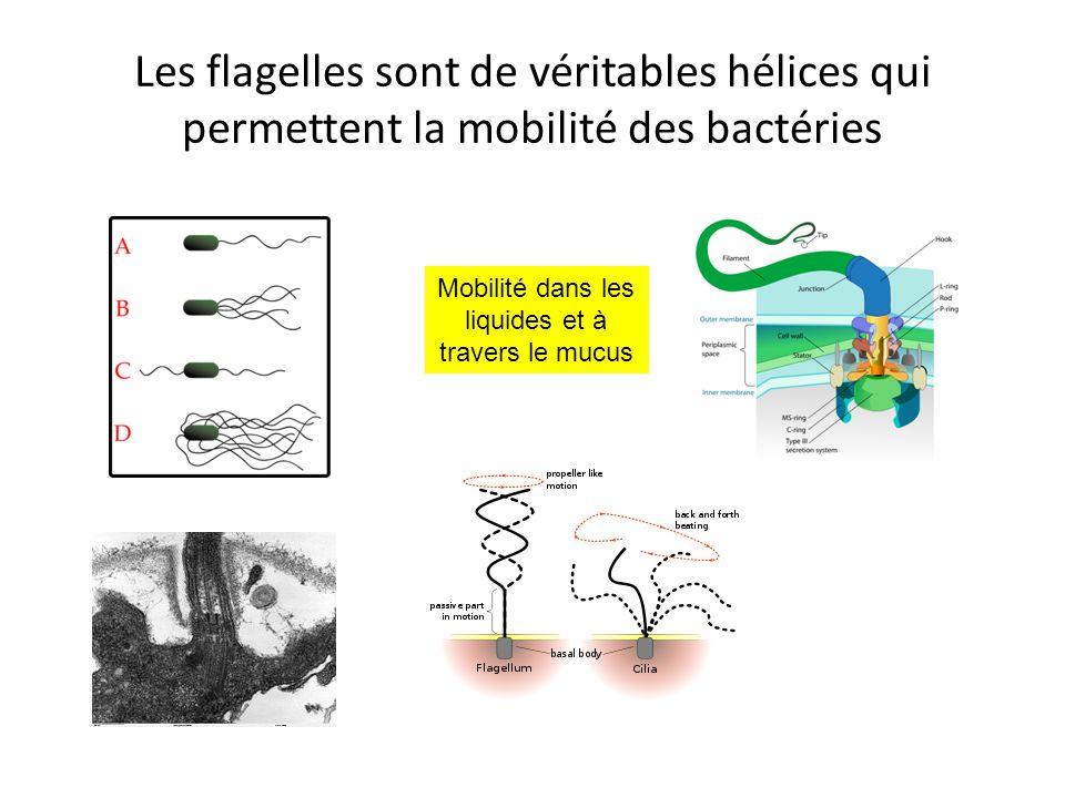 Mobilité dans les liquides et à travers le mucus