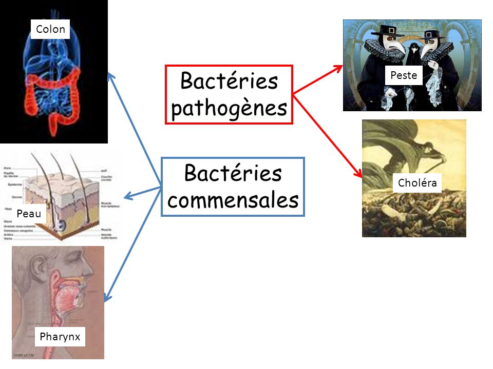 Bactéries pathogènes Bactéries commensales Colon Peste Peste Choléra