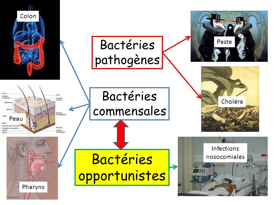 Bactéries opportunistes Bactéries pathogènes Bactéries commensales