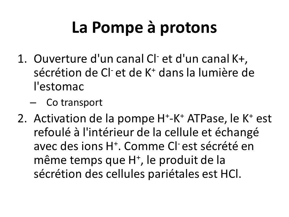 La Pompe à protonsOuverture d un canal Cl- et d un canal K+, sécrétion de Cl- et de K+ dans la lumière de l estomac.