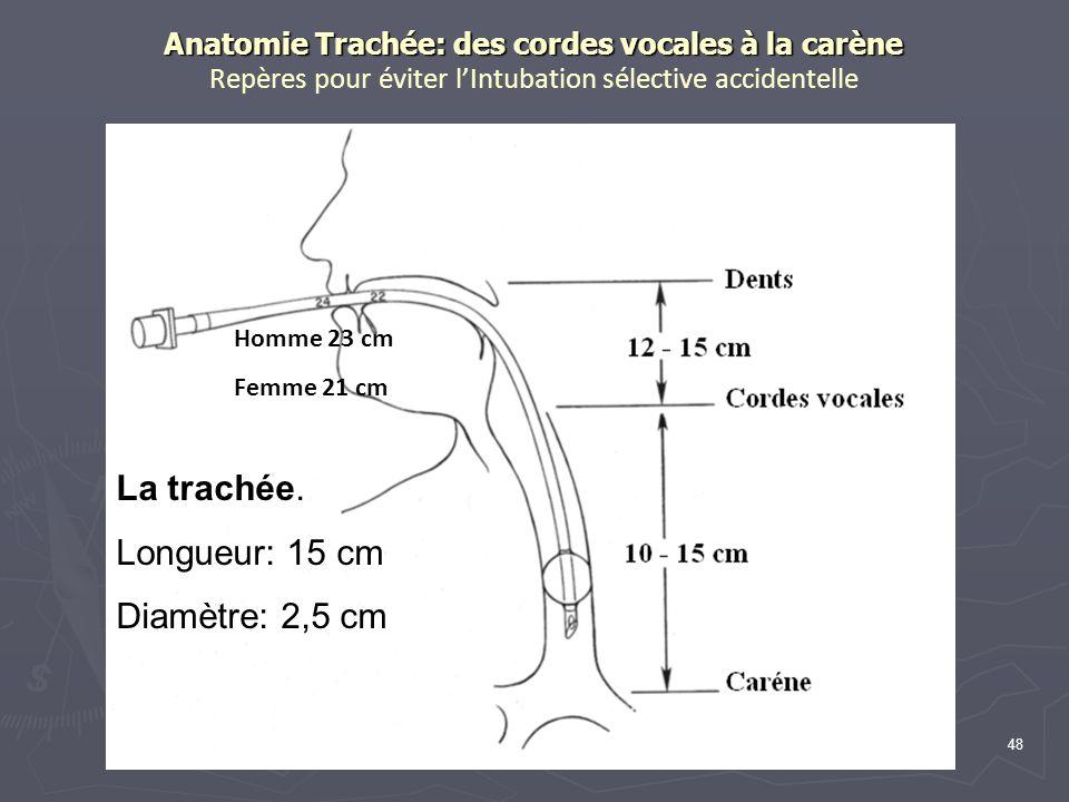 La trachée. Longueur: 15 cm Diamètre: 2,5 cm