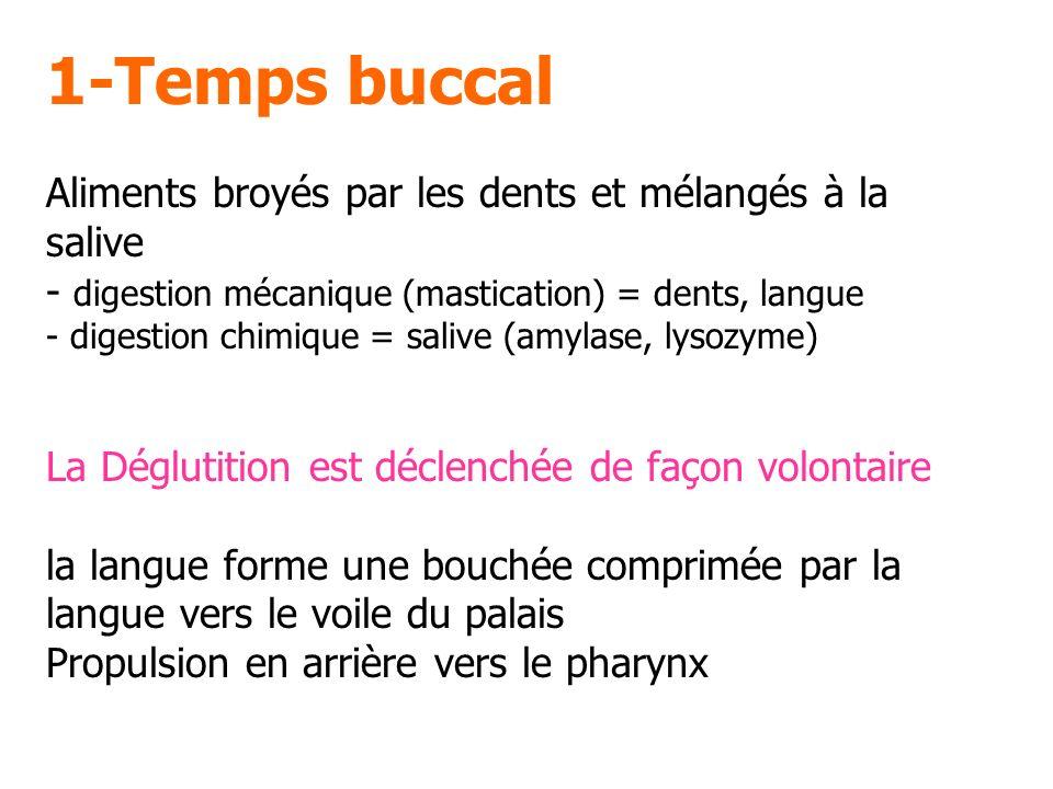 1-Temps buccal Aliments broyés par les dents et mélangés à la salive