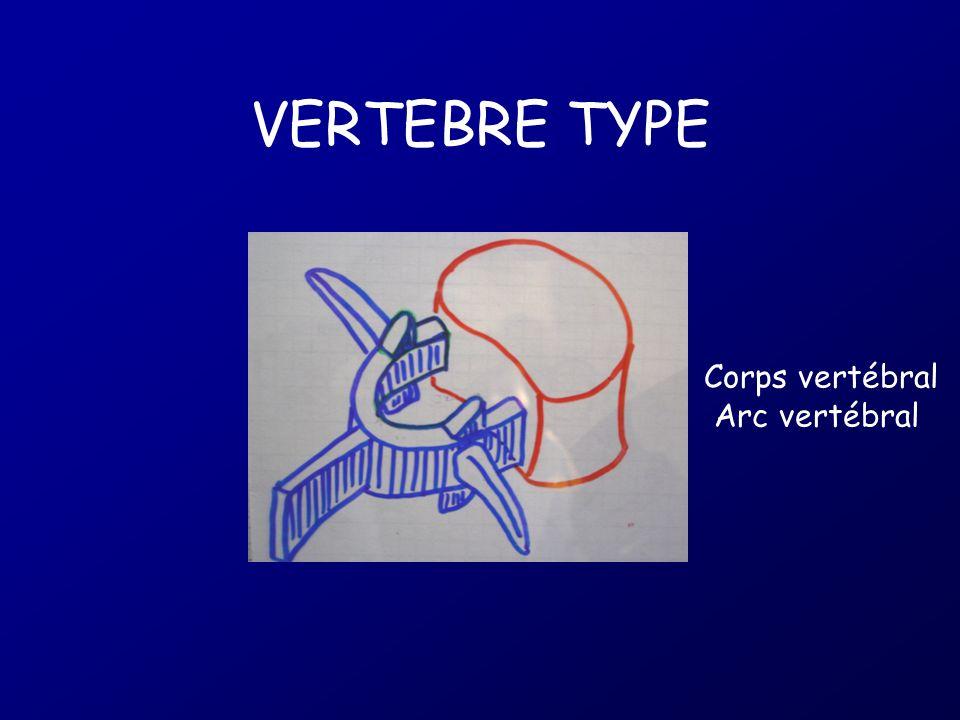VERTEBRE TYPE Corps vertébral Arc vertébral
