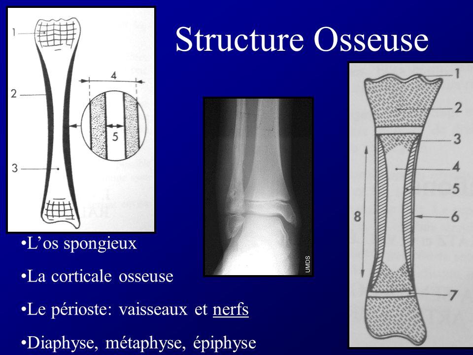 Structure Osseuse L'os spongieux La corticale osseuse
