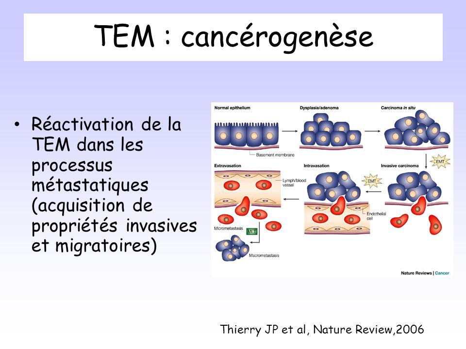 TEM : cancérogenèse Réactivation de la TEM dans les processus métastatiques (acquisition de propriétés invasives et migratoires)
