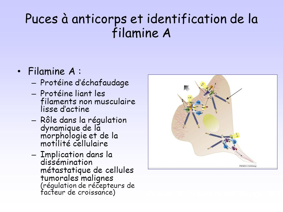 Puces à anticorps et identification de la filamine A