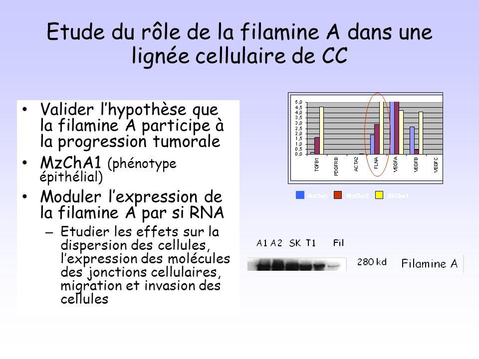 Etude du rôle de la filamine A dans une lignée cellulaire de CC