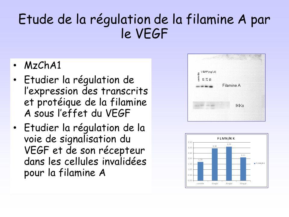 Etude de la régulation de la filamine A par le VEGF