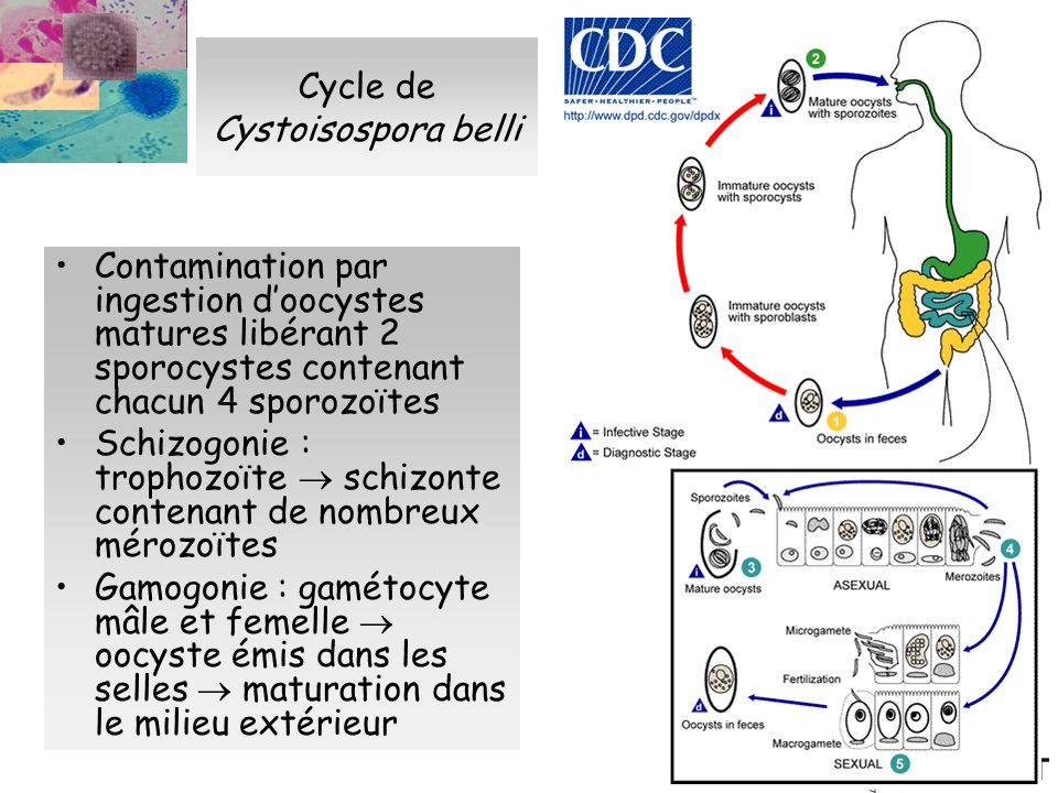 Cycle de Cystoisospora belli