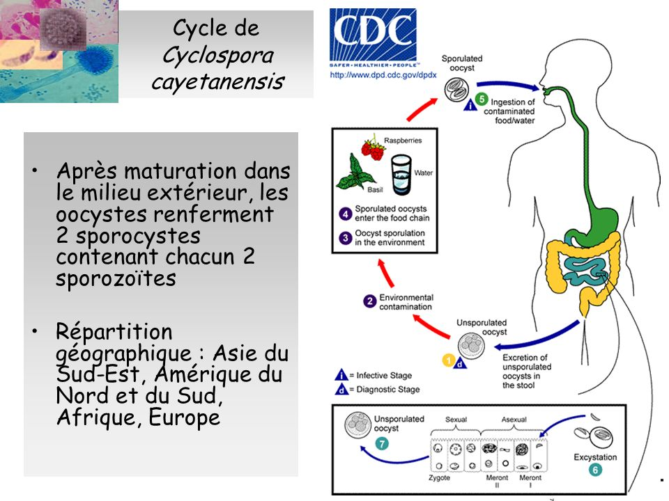 Cycle de Cyclospora cayetanensis