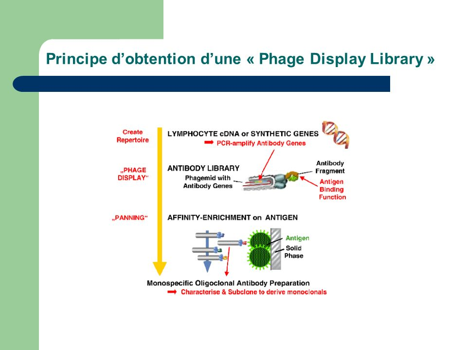 Principe d'obtention d'une « Phage Display Library »