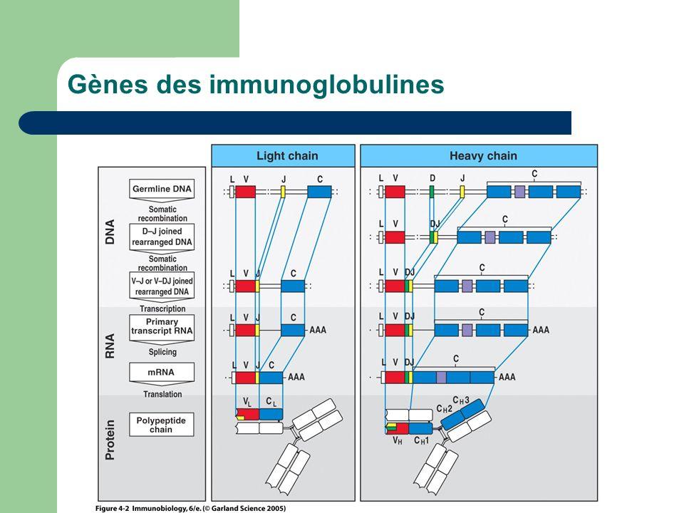 Gènes des immunoglobulines