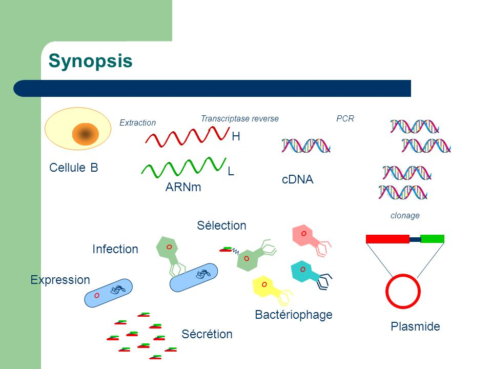 Synopsis H Cellule B L cDNA ARNm Sélection Infection Expression