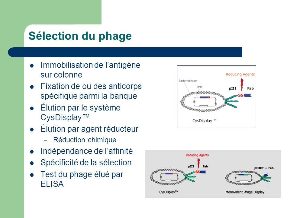 Sélection du phage Immobilisation de l'antigène sur colonne