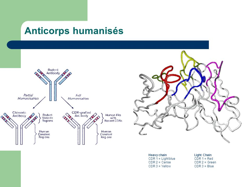 Anticorps humanisés Heavy chain CDR 1 = Light blue CDR 2 = Cerise CDR 3 = Yellow.