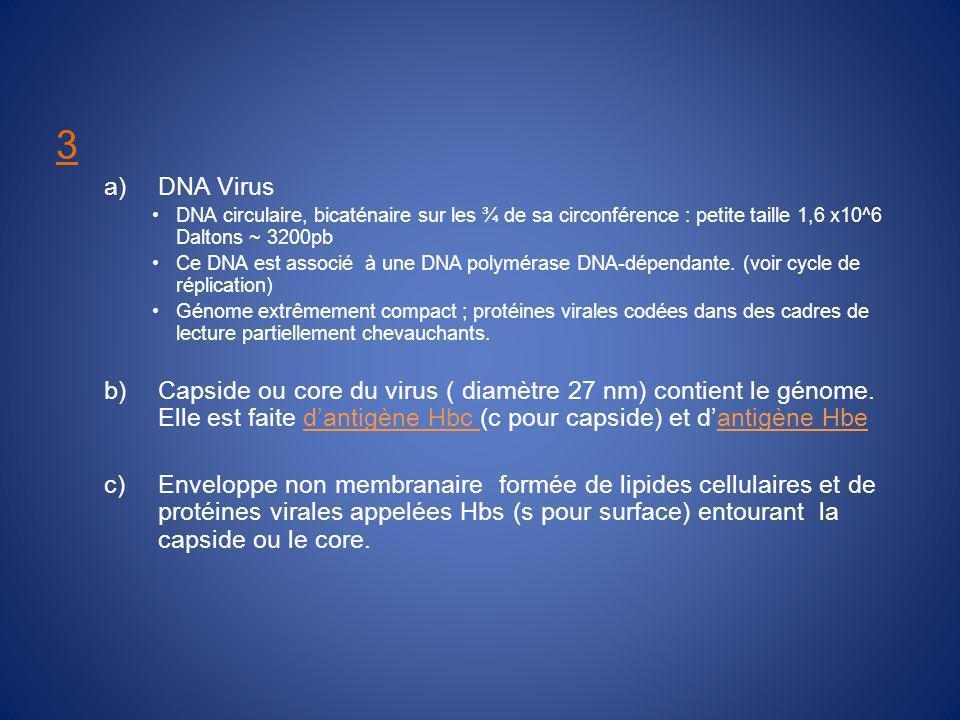 3 DNA Virus. DNA circulaire, bicaténaire sur les ¾ de sa circonférence : petite taille 1,6 x10^6 Daltons ~ 3200pb.