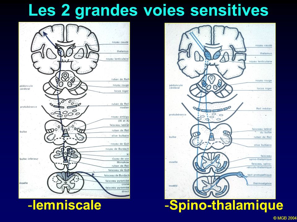 Les 2 grandes voies sensitives