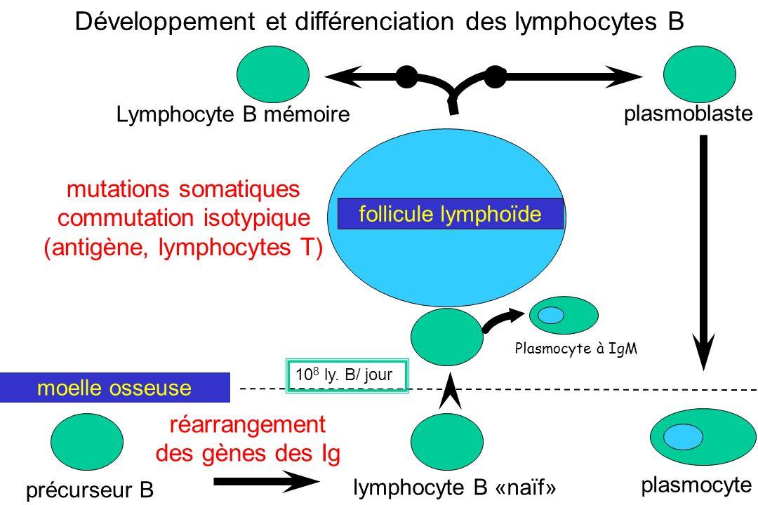 Développement et différenciation des lymphocytes B