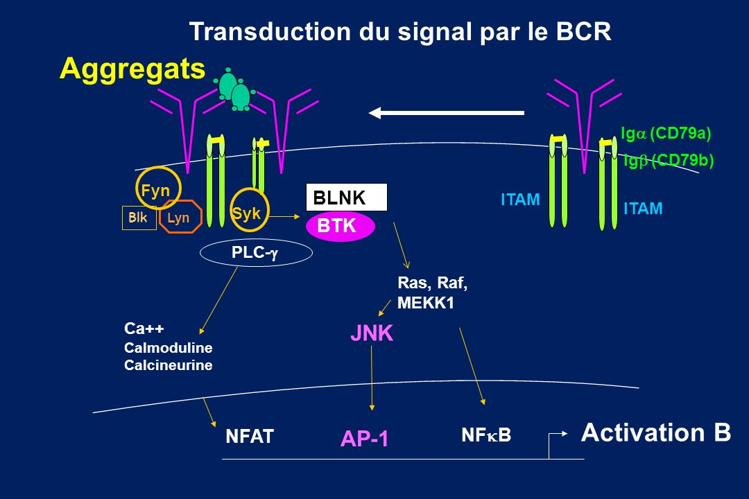 Transduction du signal par le BCR
