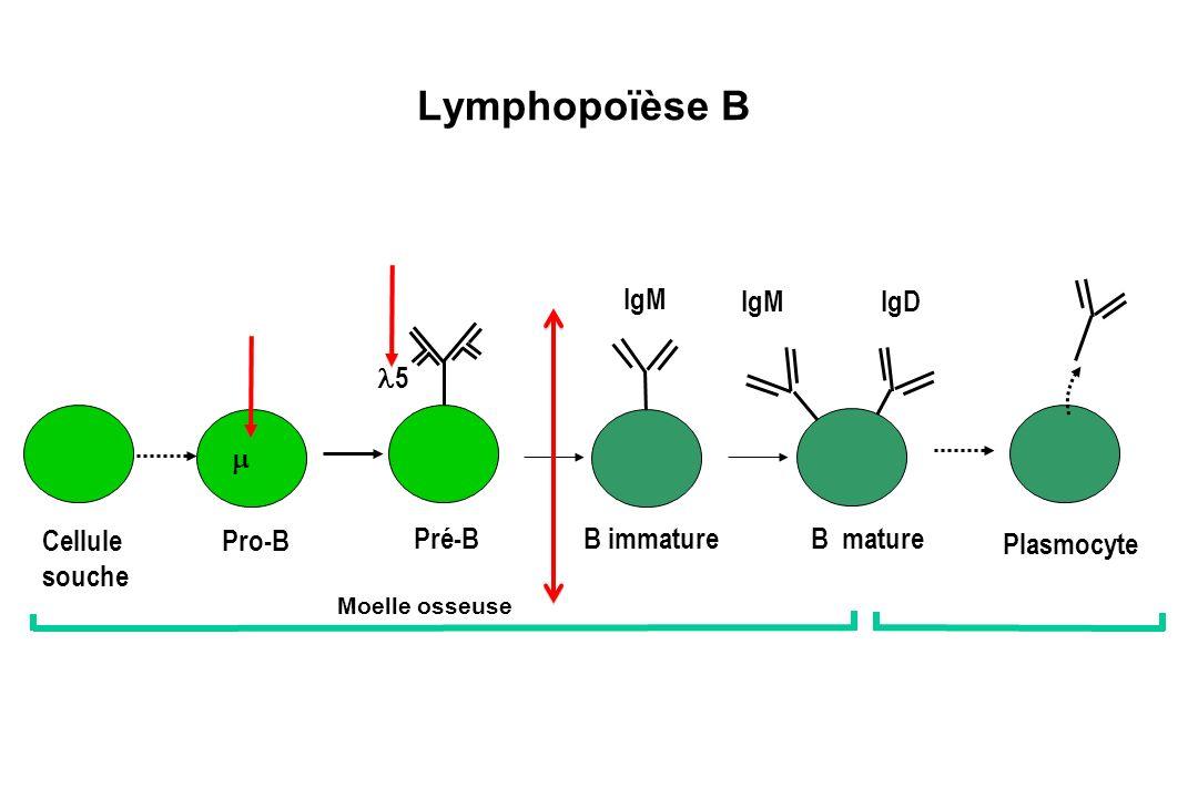 Lymphopoïèse B IgM IgM IgD l5 m Cellule souche Pro-B Pré-B B immature