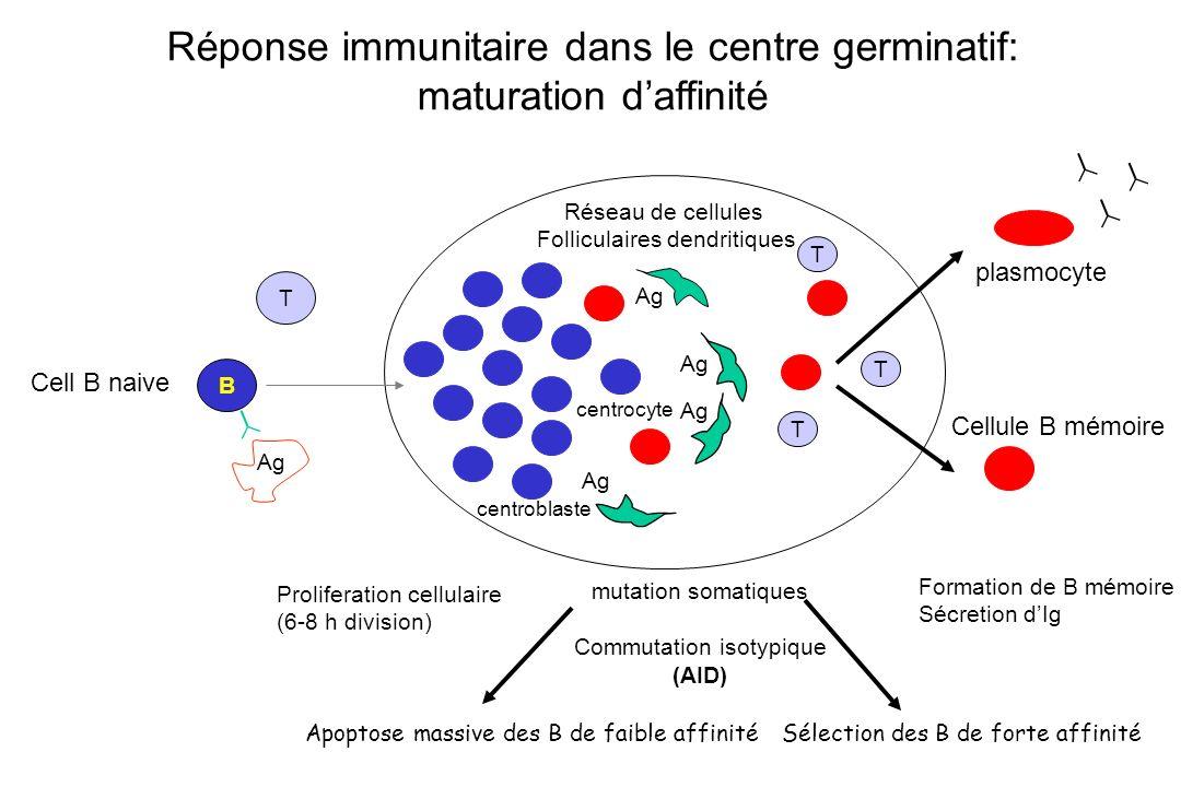 Réponse immunitaire dans le centre germinatif: maturation d'affinité