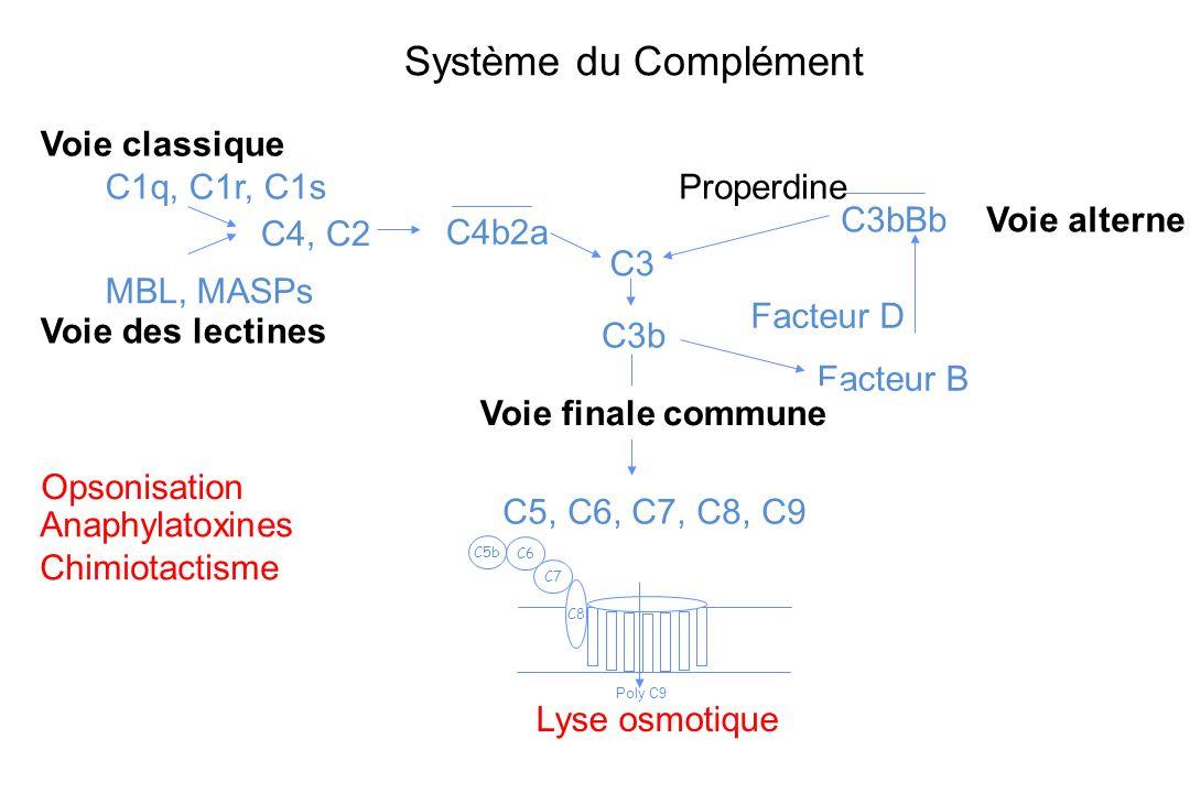 Système du Complément Voie classique C1q, C1r, C1s MBL, MASPs