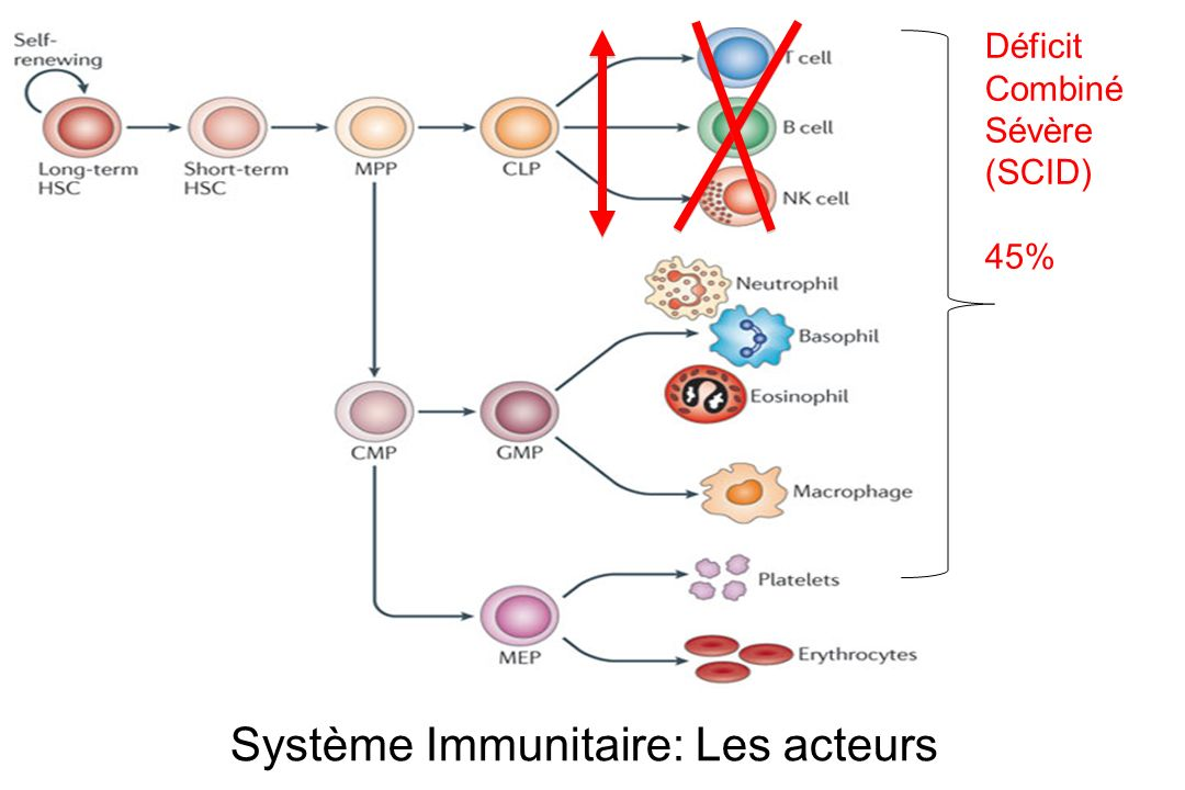 Système Immunitaire: Les acteurs