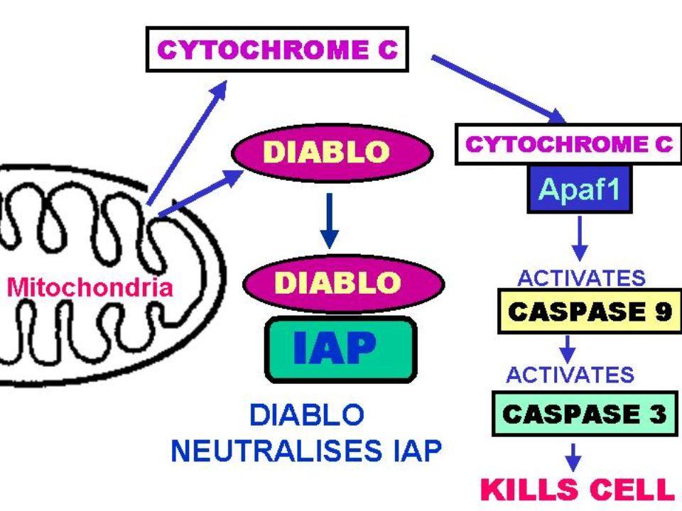 Relargage de DIABLO, qui se complexe avec IAP ( complexe inhibant l'apoptose) il est alors inactif=> neutralisation des protéines anti-apototiques
