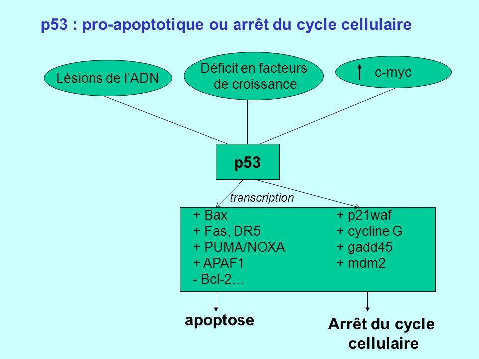 p53 Arrêt du cycle cellulaire