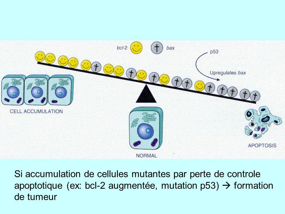 Si dimères Bcl2-Bcl2 => bouchent les pores des mitochondries