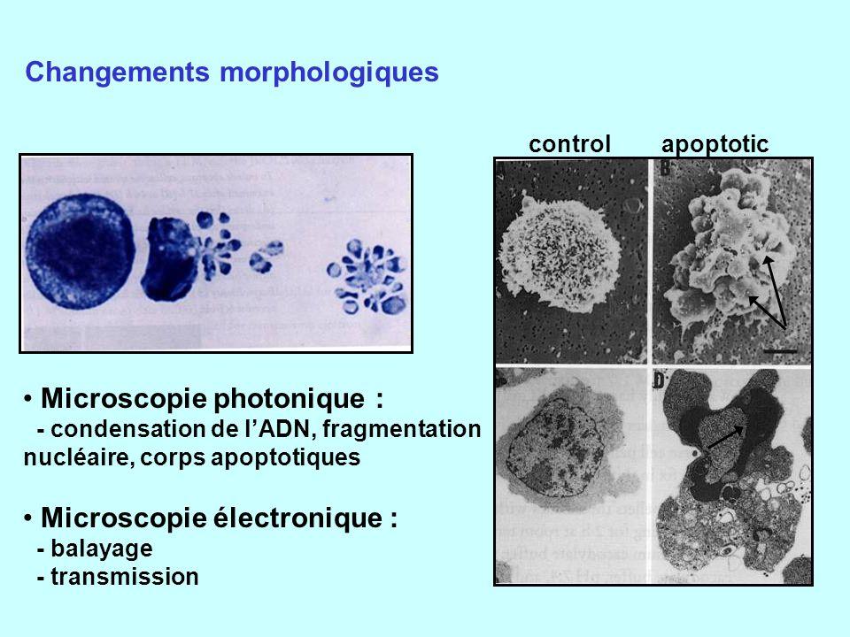 Changements morphologiques
