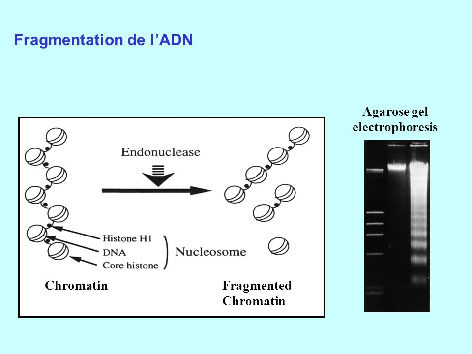 Fragmentation de l'ADN