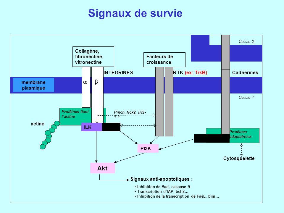 Signaux de survie a b Akt Collagène, fibronectine, vitronectine