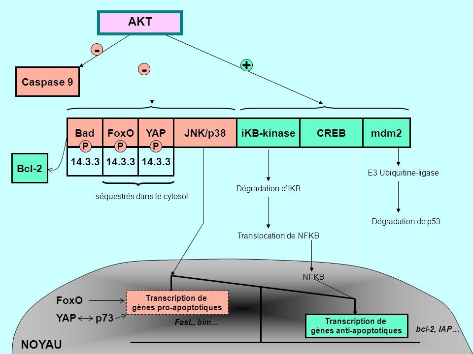 gènes pro-apoptotiques gènes anti-apoptotiques
