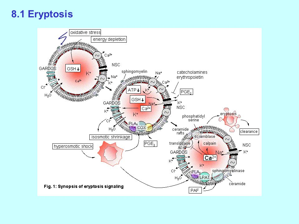 8.1 Eryptosis Erythrocyte Programmed Cell Death (Eryptosis)