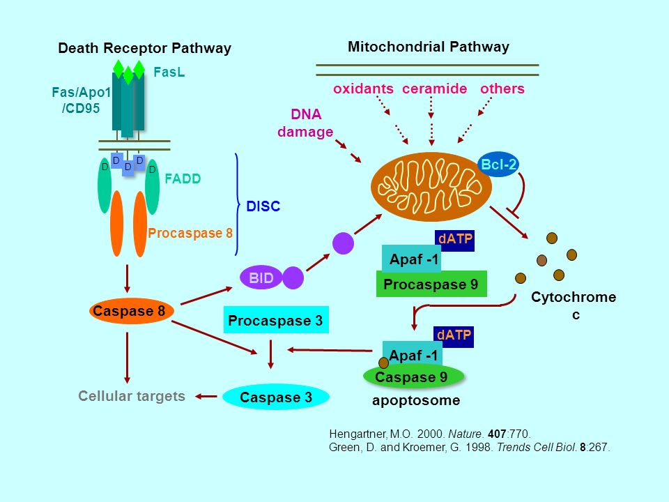 Death Receptor Pathway Mitochondrial Pathway