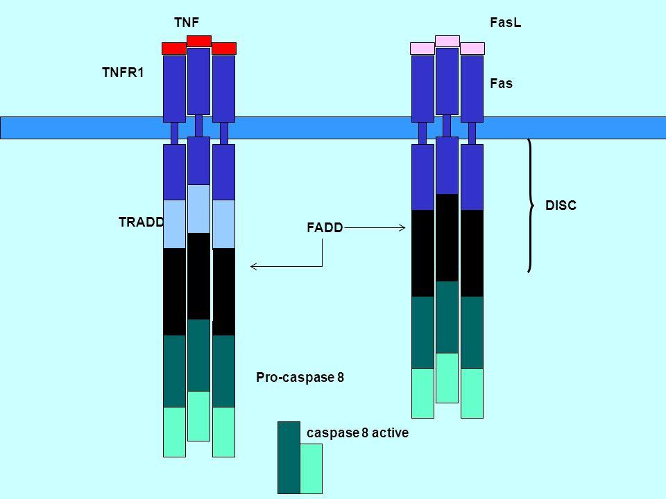 TNF FasL TNFR1 Fas DISC TRADD FADD Pro-caspase 8 caspase 8 active