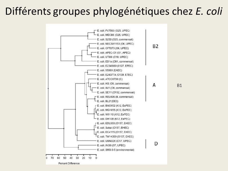 Différents groupes phylogénétiques chez E. coli
