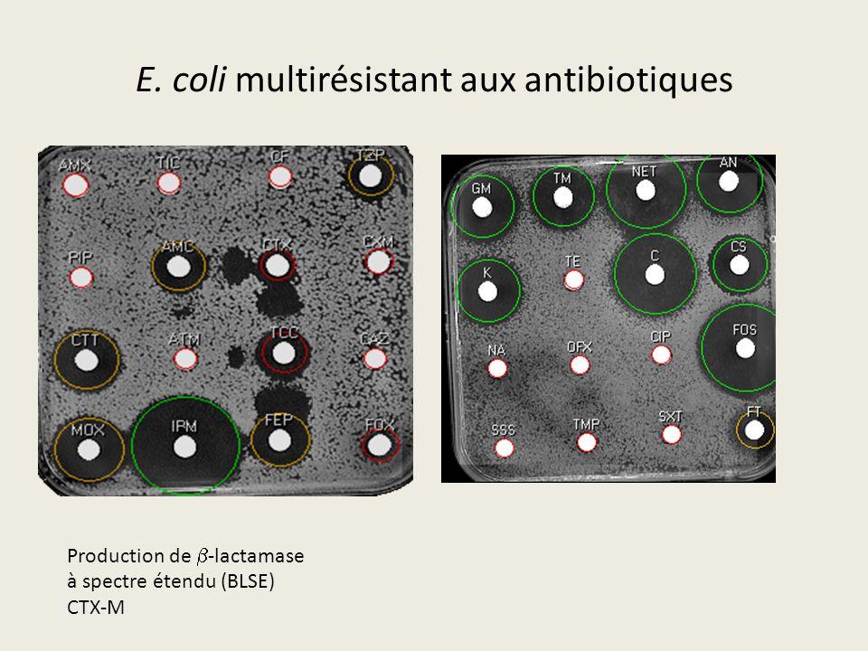 E. coli multirésistant aux antibiotiques