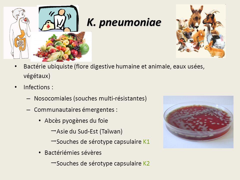 K. pneumoniae Bactérie ubiquiste (flore digestive humaine et animale, eaux usées, végétaux) Infections :