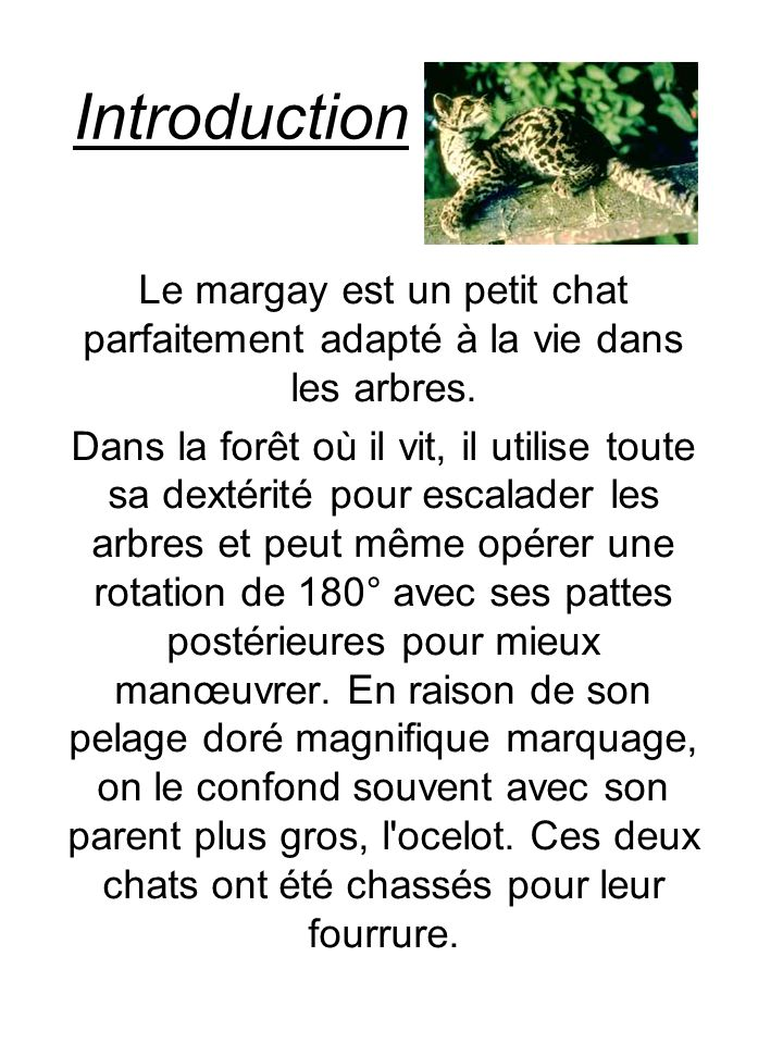 Introduction Le margay est un petit chat parfaitement adapté à la vie dans les arbres.