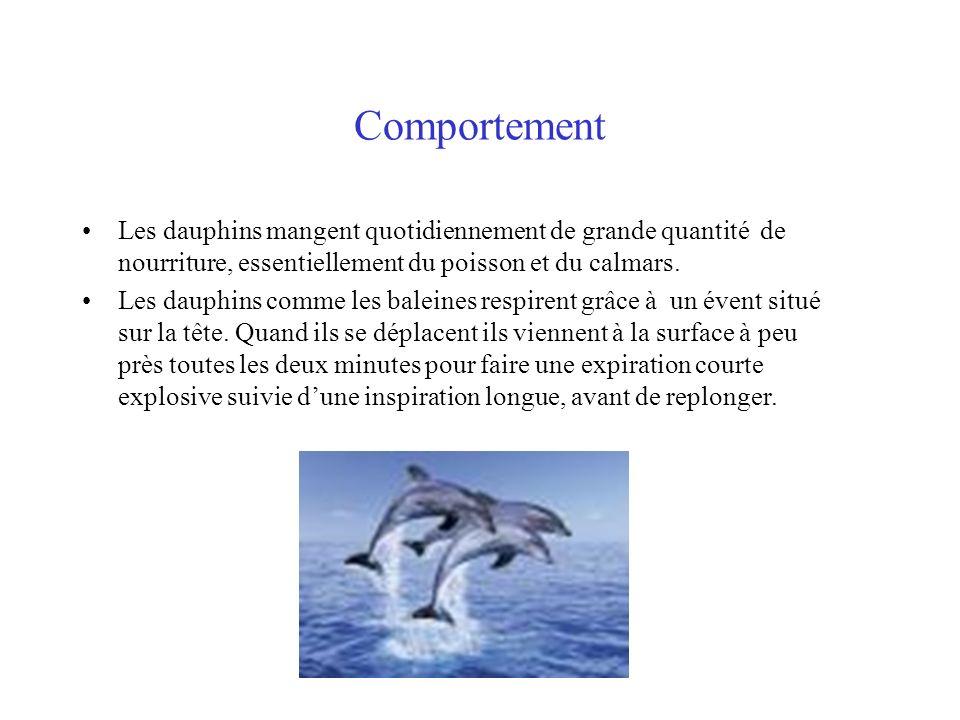 Comportement Les dauphins mangent quotidiennement de grande quantité de nourriture, essentiellement du poisson et du calmars.