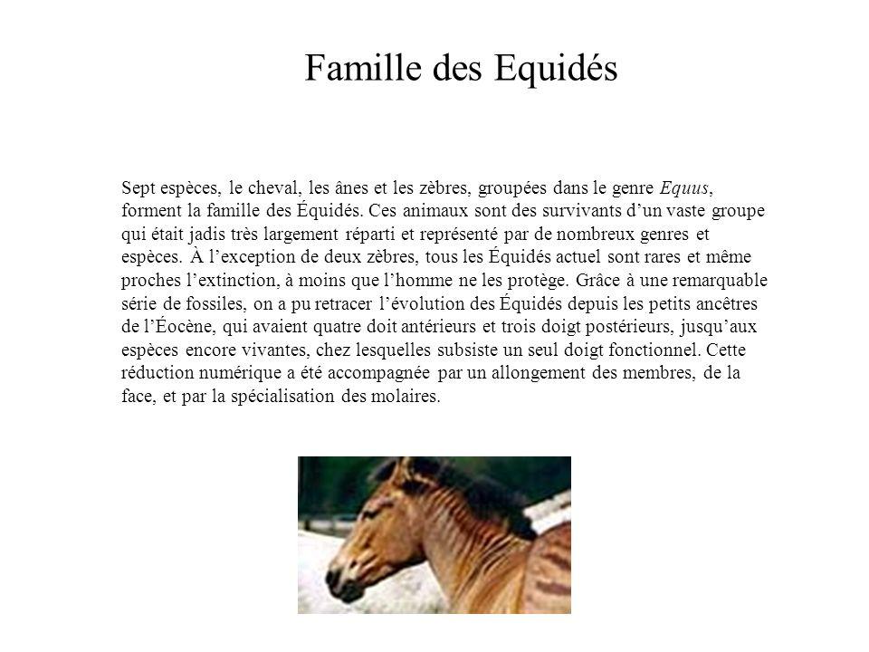 Famille des Equidés