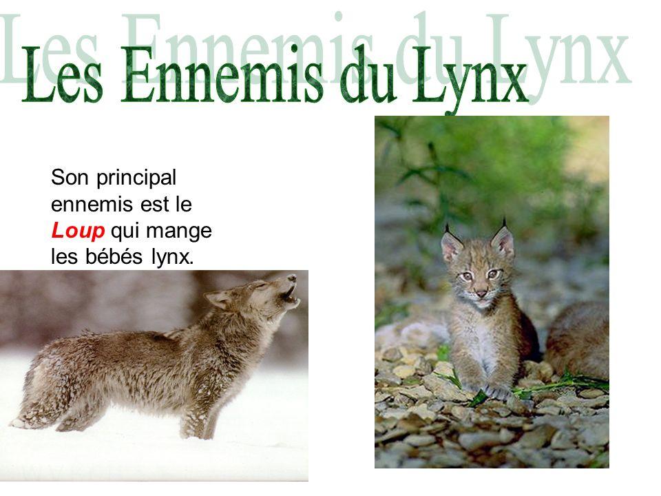 Les Ennemis du Lynx Son principal ennemis est le Loup qui mange les bébés lynx.