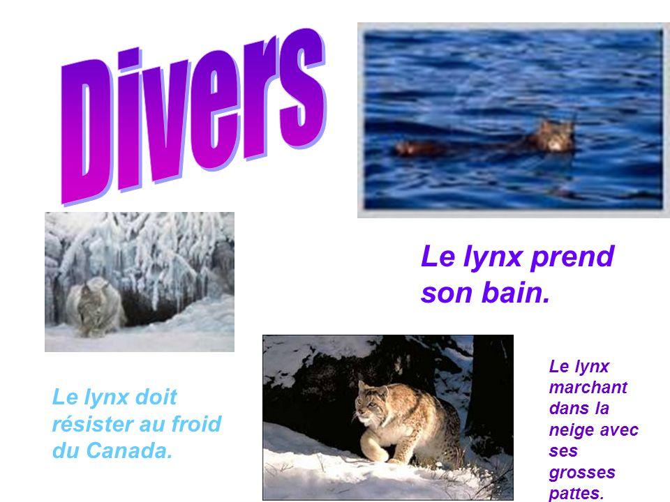 Divers Le lynx prend son bain.